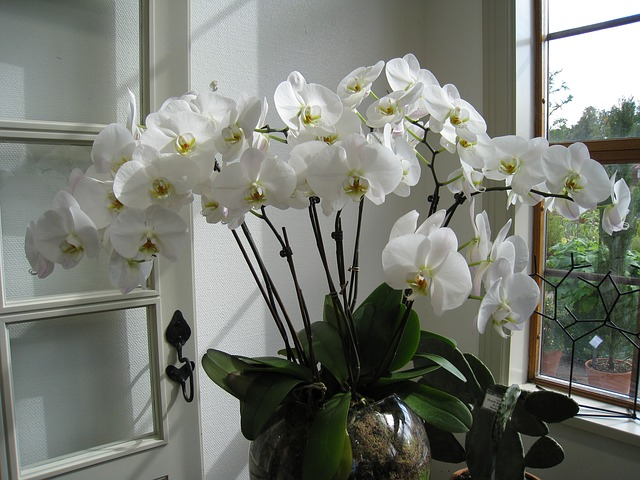 orchidej na okně