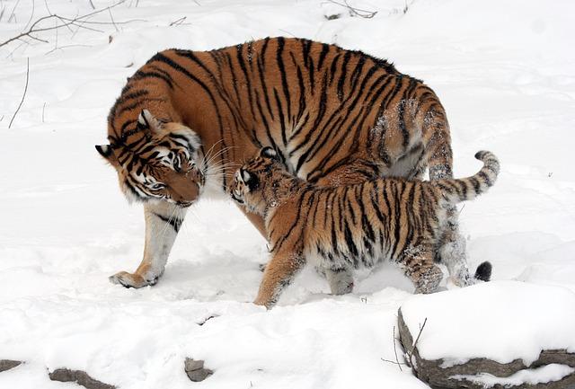 tygr s mládětem