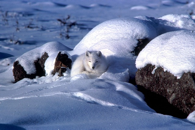 Arktická líška
