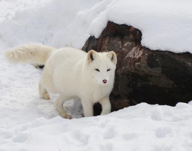 arktická liška